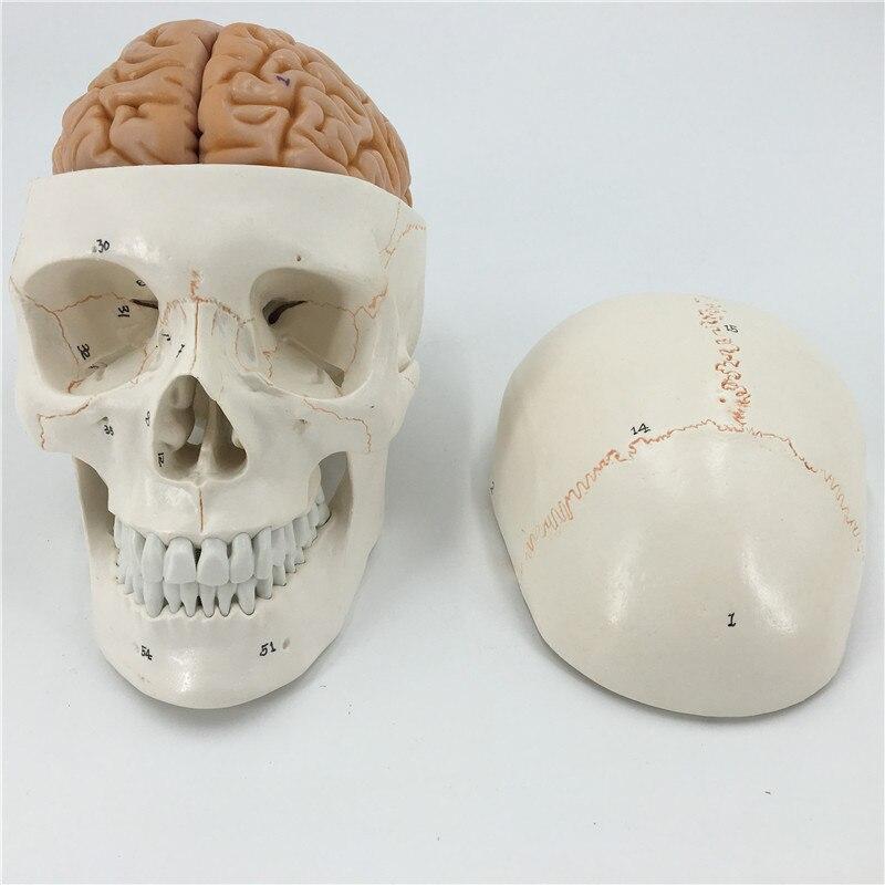 Crâne humain numéroté taille réelle avec modèle de cerveau anatomie squelette anatomie du cerveau vétérinaire anatomia science crâne explosé