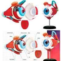4D Anatomical Human Eyes Model Anatomy Medical Science Eye Ball Model School Educational Human Eyes Teaching Accessory Part New