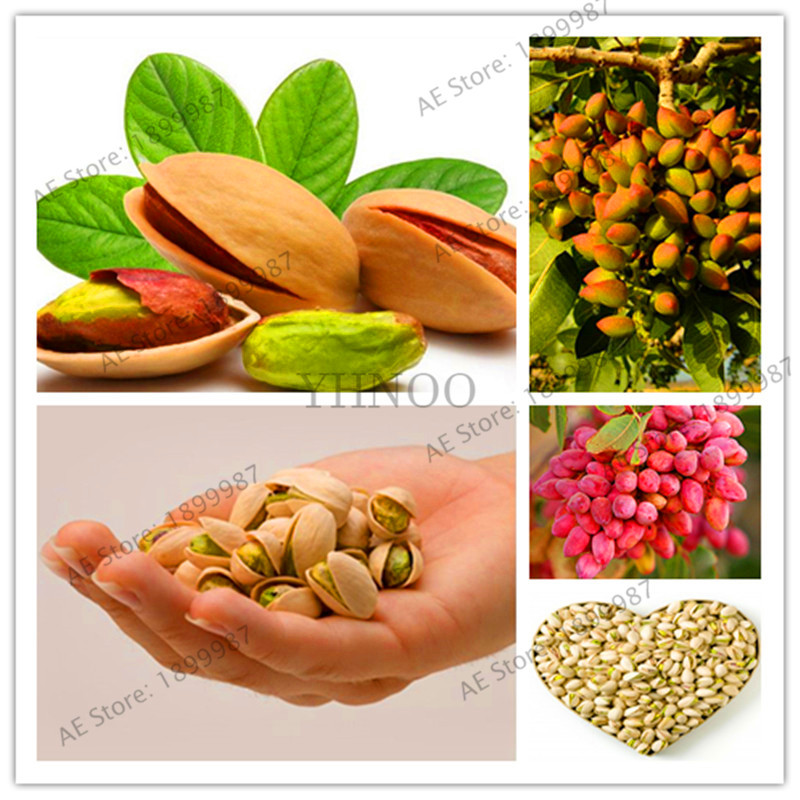 3.5 OZ Turkish Antep Pistachios GENUINE PISTACIA VERA Tree Seeds 100 Seeds