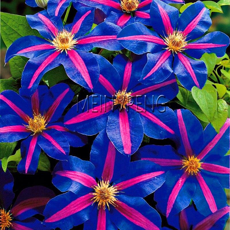 Большая Акция! 100 шт./пакет Восхождение Семена Клематисы, многолетние двор бонсай семена цветов для дома и сада, # JD4QG1