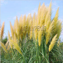 New 2018!100 pcs Pampas Grass bonsai Cortaderia selloana flower plant aquatic plants decoration home garden flower(China)