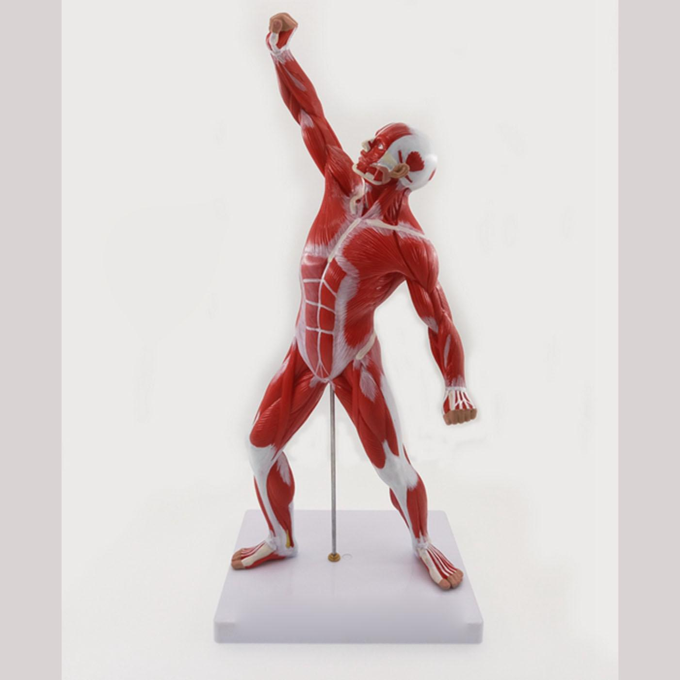 Squelette humain et système musculaire anatomie biologie enseignement modèle médical exercice masculin ressources pédagogiques musculaires