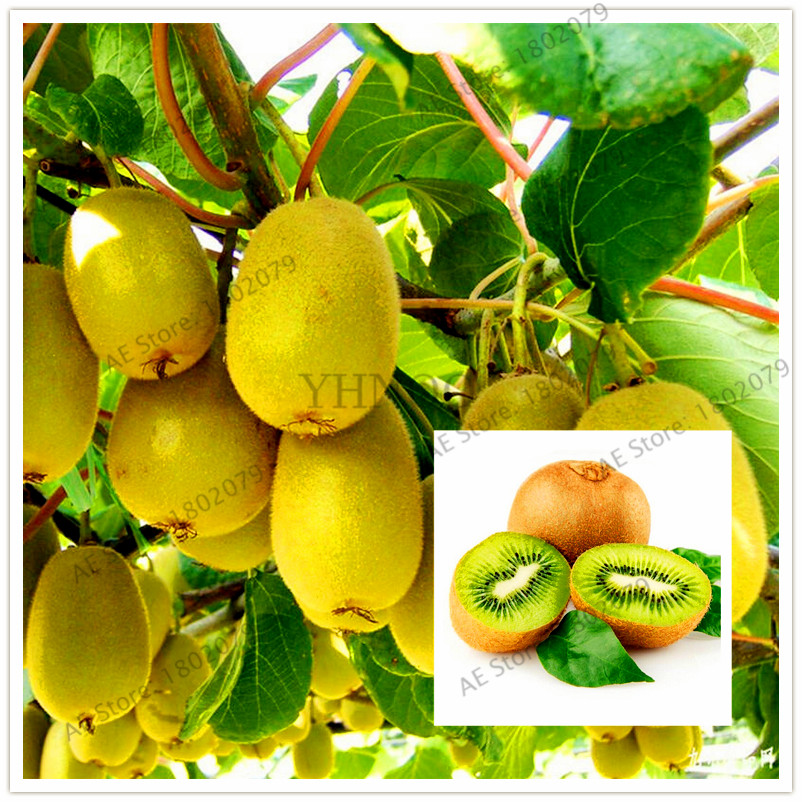 Hot Sale!105pcs/bag Mini Actinidia Small Potted Plant Garden Of Fruit Trees Beautiful Bonsai Kiwi Flores Free Shipping