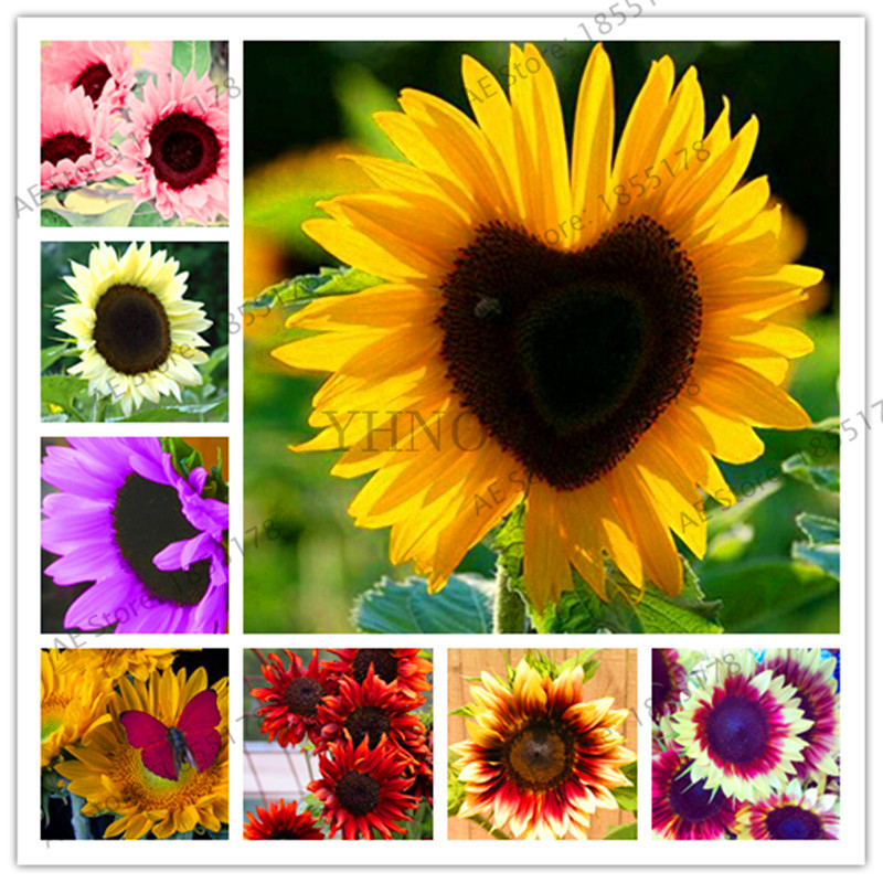 Big Promotion!40 PCS Rare Red Sunflower Bonsai Organic Red Fortune Helianthus Annuus Plants for Gardening Ornamental Flowers,#B vacation