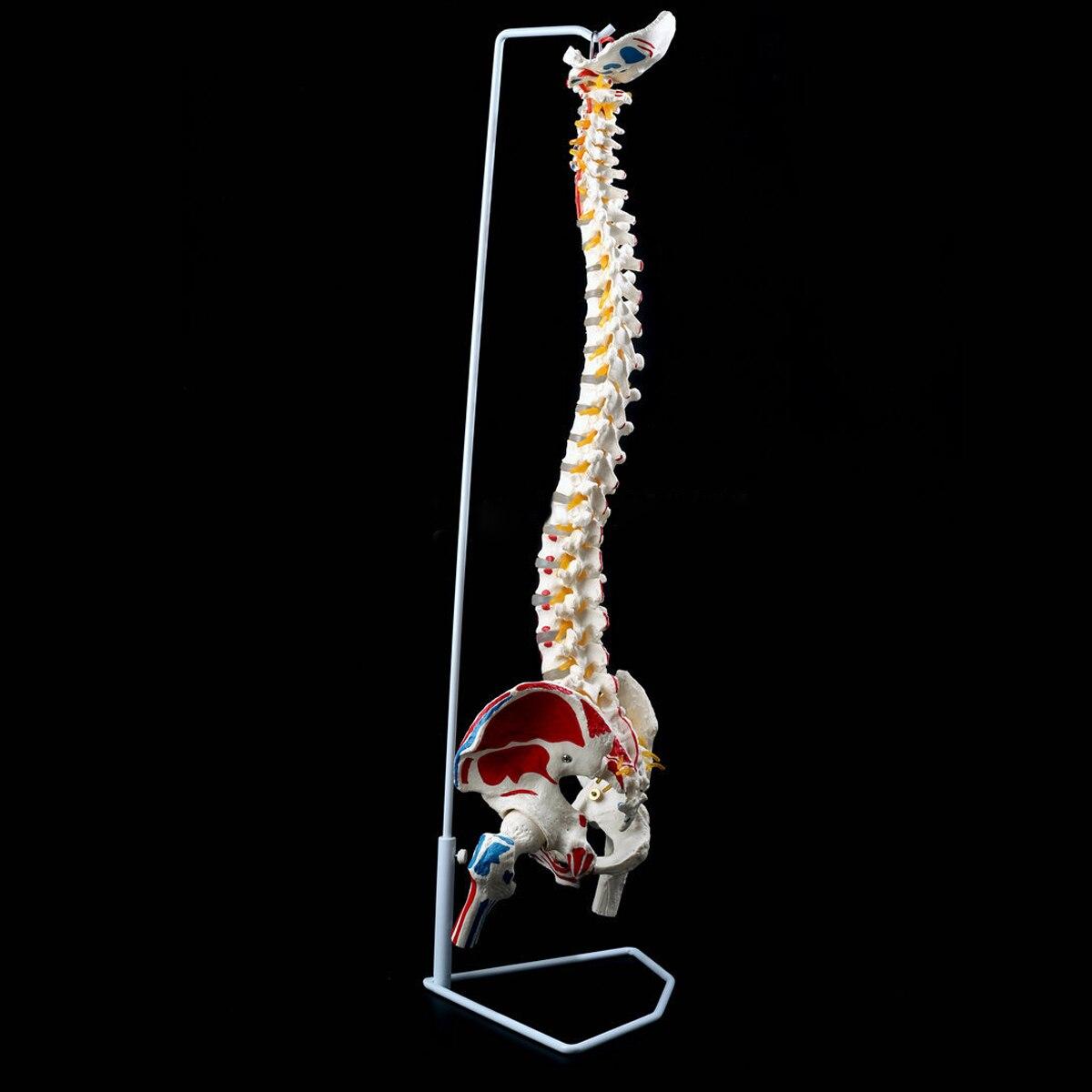 85 cm 1:1 taille réelle anatomie humaine colonne vertébrale modèle bassin fémurs + Stand école éducation Science médicale modèle d'enseignement anatomique - 3
