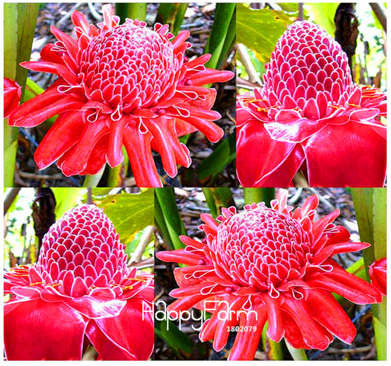 Time-Limit!!RED Torch Ginger Plant Flower Bonsai - Etlingera Elatior - Perfect Houseplant - EXOTIC And EDIBLE, 100 Pcs/Pack