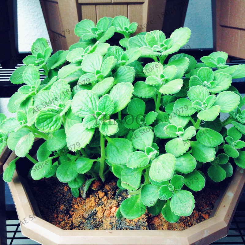 100pcs/bag Cuban Oregano Plantas,Oregano brujo,Spanish thyme,Mexican thyme Plants bonsai plant DIY home garden Plant Stand