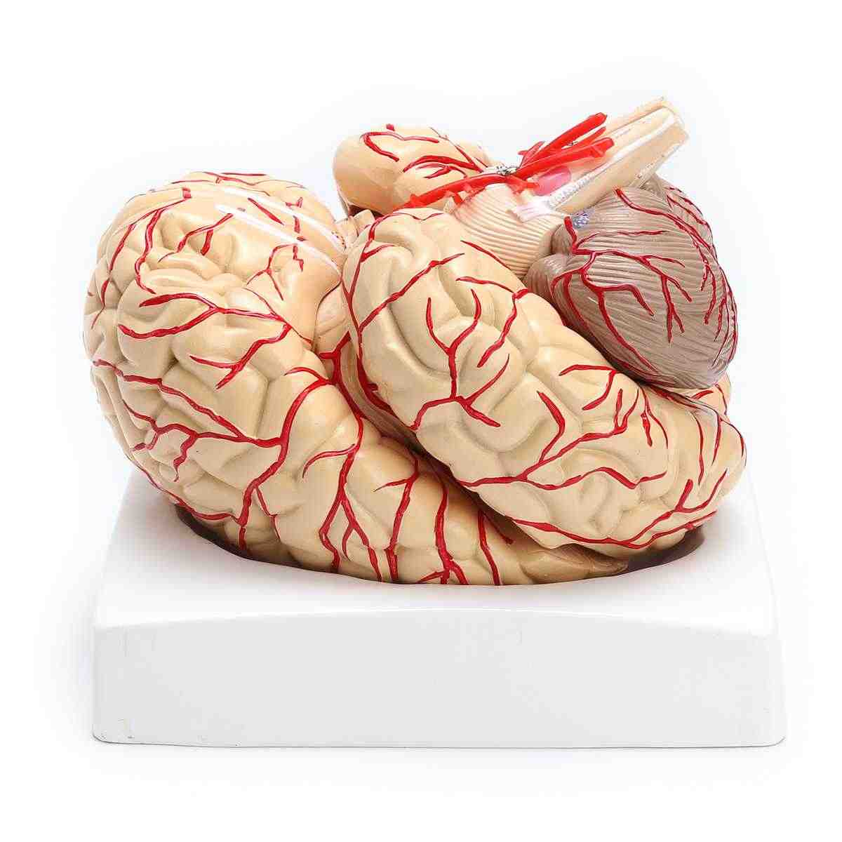 OUBO Life Size 1:1 Human Brain with Arteries Model Anatomical Medical Organ Anatomy