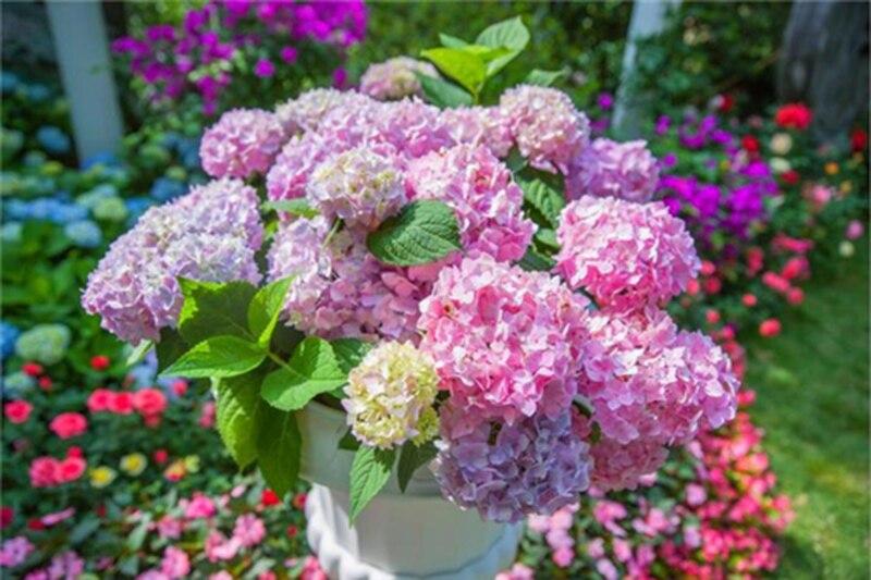Hydrangea bonsai 9 colour Hydrangea Flower for plant Bonsai Viburnum potted plant for home garden 20pcs bag in Bonsai from Home Garden