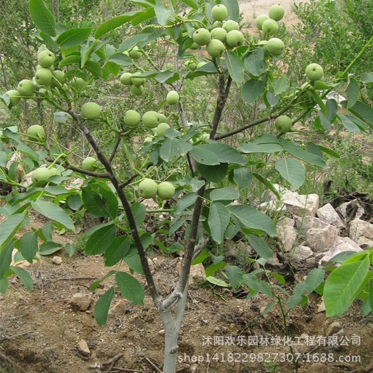 Грецкий орех bonsais грецкий орех оптом грецкий орех bonsais и фруктовый год результаты 1 шт.