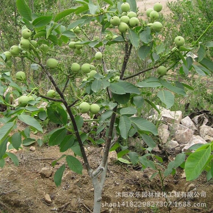 Walnut bonsais walnut wholesale walnut bonsais and fruit year results 1 pcs.