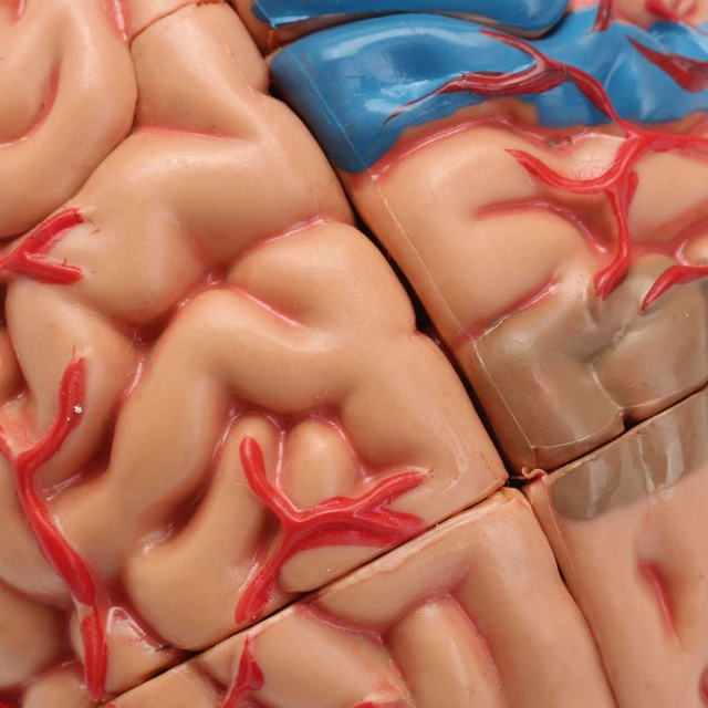 4D Anatomical Human, Brain Model Anatomy Medical Teaching Tool Toy Statues Sculptures Medical School Use 7.2*6*10cm