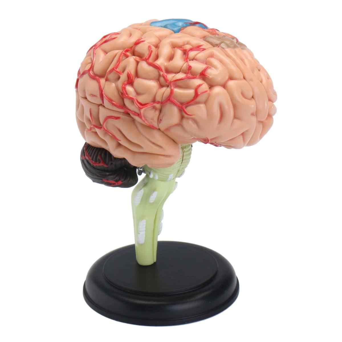 4D Giải Phẫu Con Người, mô Hình não Giải Phẫu Y Tế Công Cụ Giảng Dạy Đồ Chơi Bức Tượng Tác Phẩm Điêu Khắc Học Y Tế Sử Dụng 7.2*6*10 cm