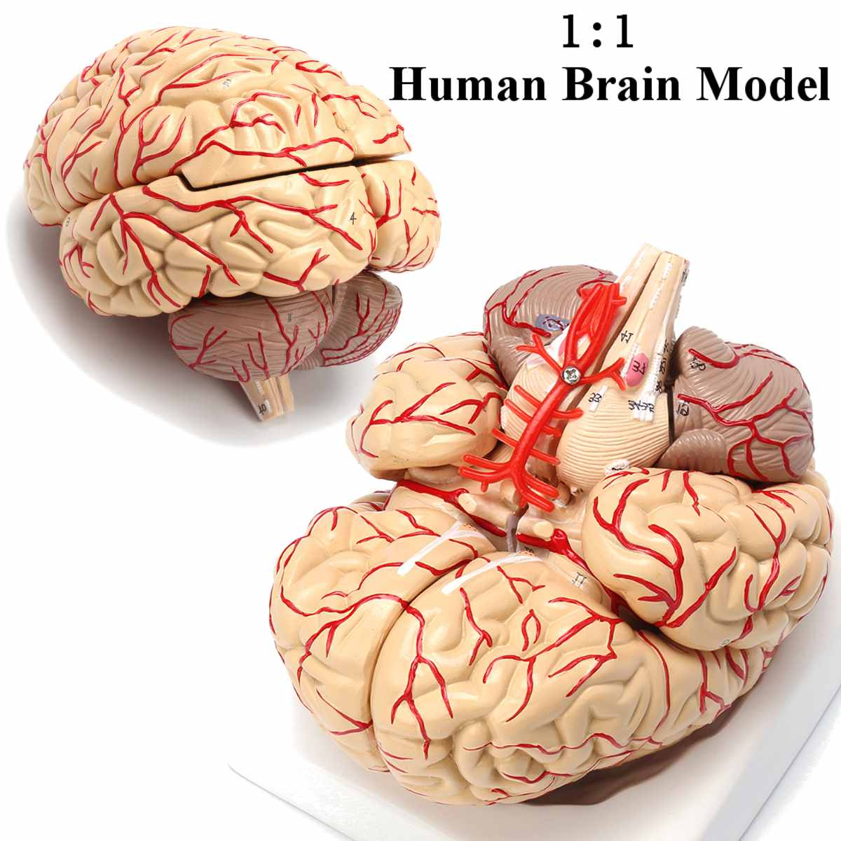 1:1 Life Size Human Brain Model With Arteries Anatomical Medical Organ Anatomy Model School Educational Medical Science Teaching1:1 Life Size Human Brain Model With Arteries Anatomical Medical Organ Anatomy Model School Educational Medical Science Teaching