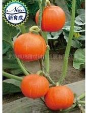 Beijing Red Chestnut Pumpkin 5pcs Organic Vegetable bonsai
