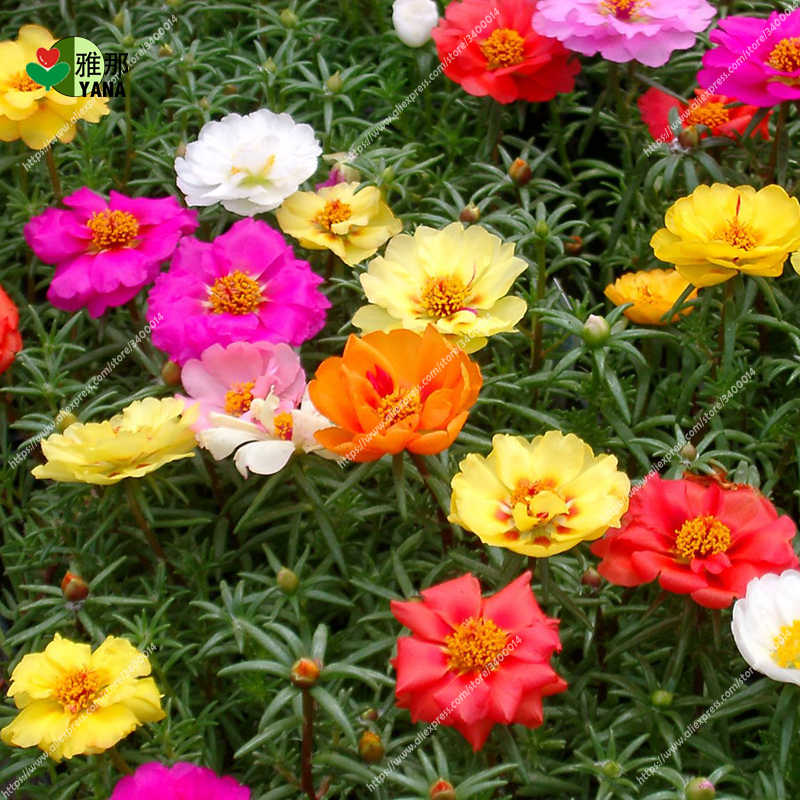 100pcs/bag Home Garden Mixed Mexican-rose Sun Plant Portulaca Moss Rose Portulaca Grandiflora Flower Mix