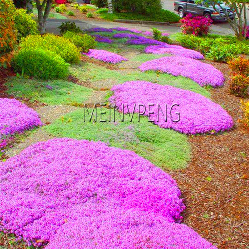 Big Promotion!100 pcs/bag Creeping Thyme Bonsai or Multi-color ROCK CRESS Plant - Perennial flower Garden Ground cover flower g