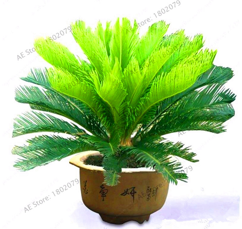 Big Sale!1pcs/bag Cycas Plants, Sago Palm Tree Plantas.bonsai Flower Gardenling,the Budding Rate 97% Rare Potted Plant For Home
