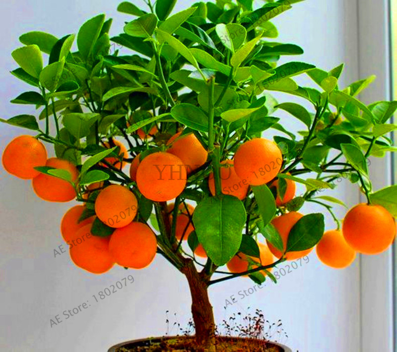 Lowest Price!4 Kind Fruit,bonsai Fruit Tree Flores,vegetable And Fruit Plantas Garden Plant Delicious Apple Orange Kiwi Cherry T