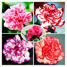 100pcs/bag Carnation garden Bonsai Dianthus caryophyllus Flowers flores Semillas potted rare mother love flower for pot plant(China)