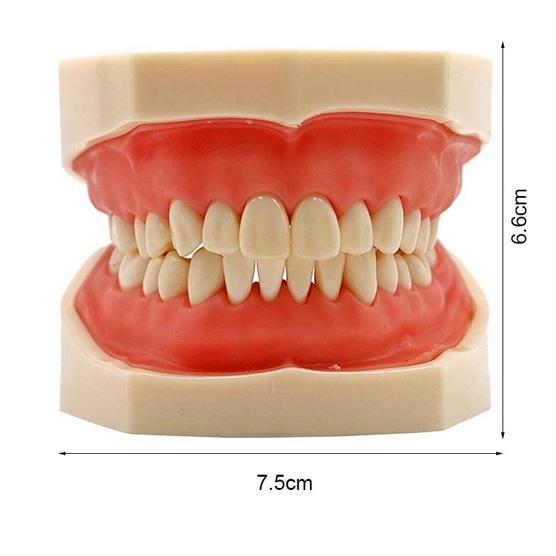 Modèle dentaire Standard avec dents amovibles étude dentaire enseigner les dents modèle dents modèle gomme molle modèle dentiste modèle outil de démonstration