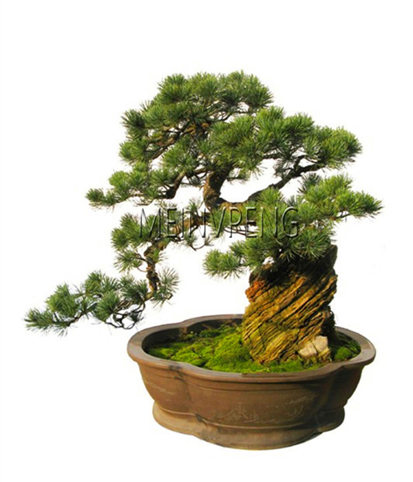New 2018!black Pine Tree Bonsai Potted Landscape Japanese Five Needle Pine Bonsai Miniascape Pinus Thun,50garden
