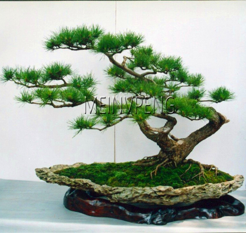 Us 0 24 66 Off Big Promotion Japanese Pine Tree Bonsai Pinus Thunbergii Plant Bonsai Tree For Diy Home Garden Planting 30flores In Bonsai From