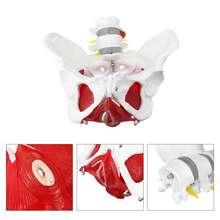 Медицинская анатомическая женская модель таза со съемными элементами в натуральную величину, школьная образовательная обучающая модель для обучения