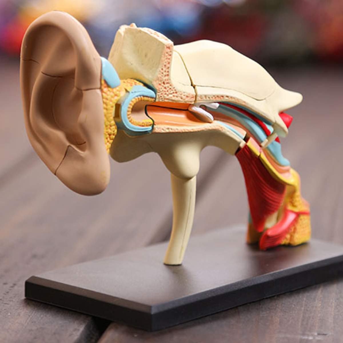 106x90x59mm 4D Vision Human Ear Anatomy Model School Educational Medical Science Learning Tool Dental Decoration Teaching Model