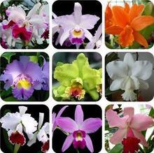 Flower bonsai Sementes Cattleya Hybrida 20pcs Famous Flowers Orchids Bonsai Potted Office Plant Beautiful Free Shipping