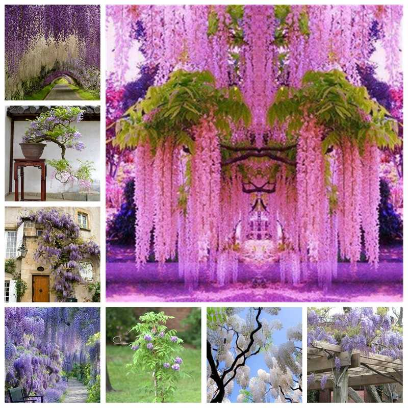 Hot Sale Outdoor Bonsai Wisteria Plant Rare Flower  DIY Home Garden Ornamental Climb Rattan Flore Planting 2pcs