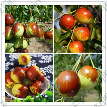 Buy jujube fruit and get free shipping on AliExpress com