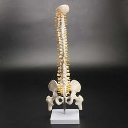 45 см человеческий позвоночник с Тазовая модель анатомическая Анатомия человека позвоночника спецодежда медицинская модель спинальной кол...