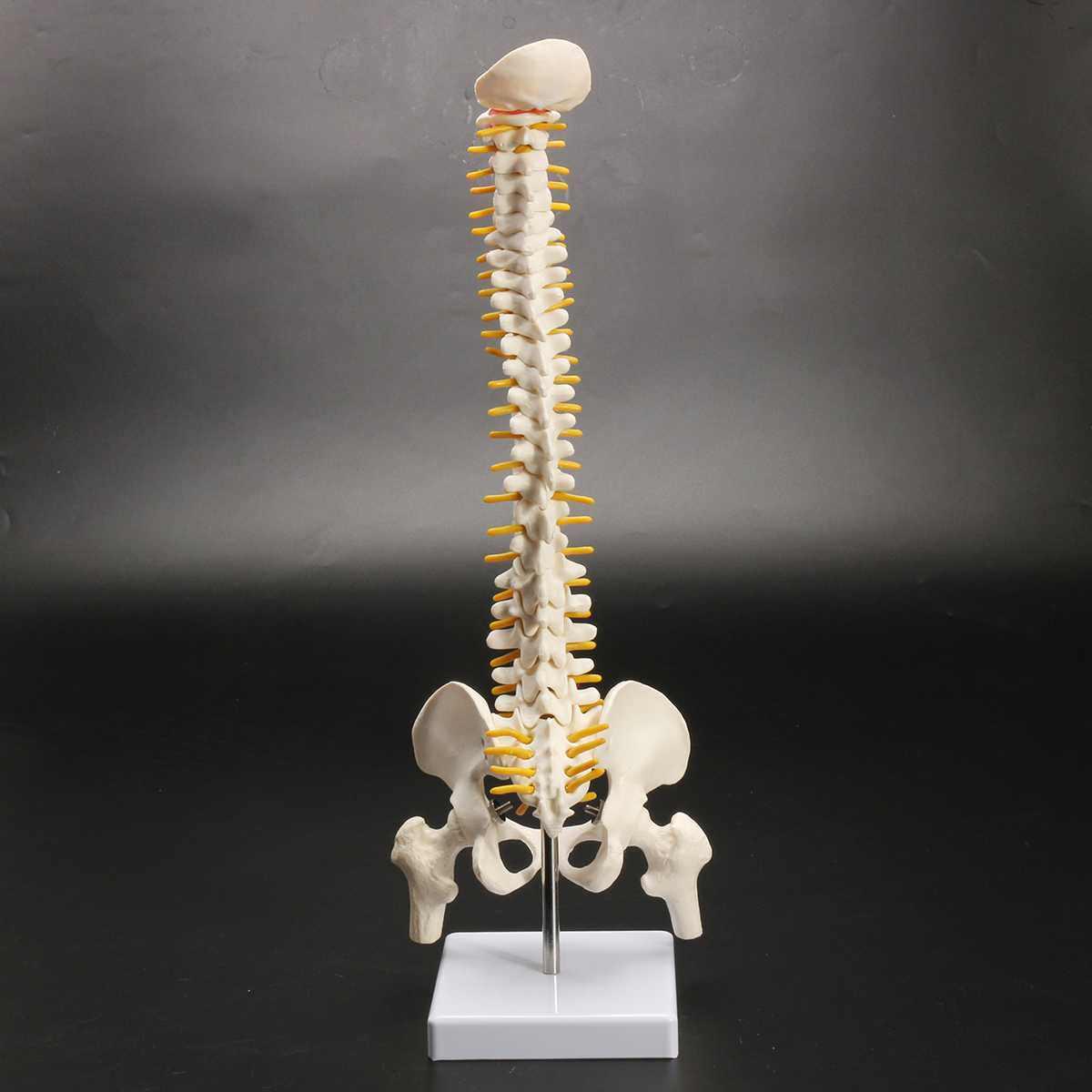 45 ซม. มนุษย์กระดูกสันหลังด้วย Pelvic รุ่นมนุษย์กายวิภาคศาสตร์กายวิภาคศาสตร์ Spine Medical รุ่น spinal column ชุด + ขาตั้งยืดหยุ่น