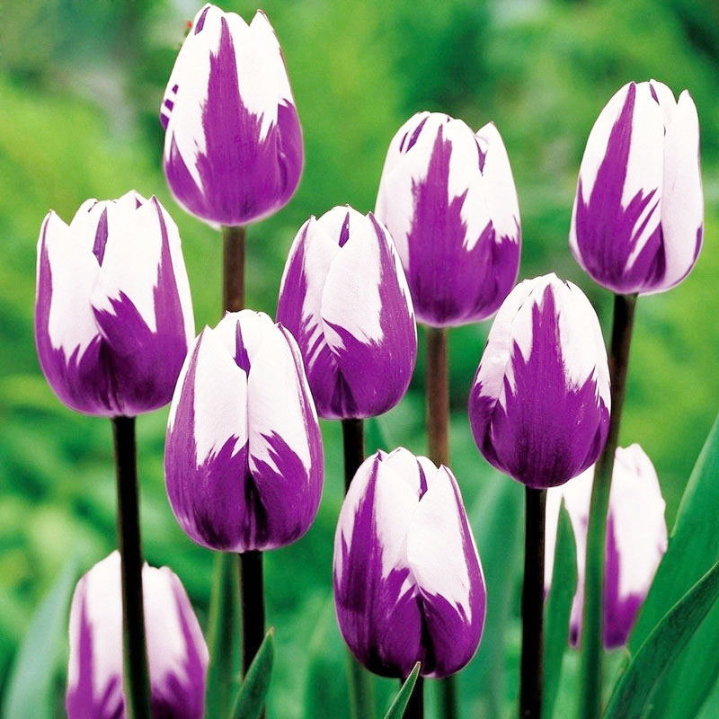 100 шт./пакет Горячая Радуга тюльпан бонсай редких цветов многолетние растения подарок для дома сад двор украсить
