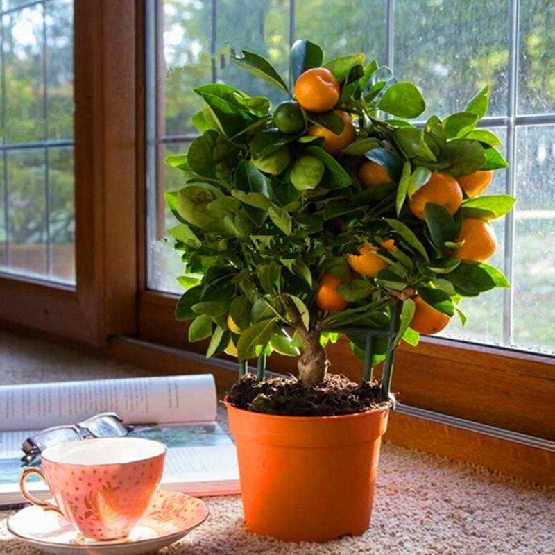 20pcs Edible Fruit Mandarin Bonsai Tree Bonsais, Citrus Mandarin Orange Bonsais