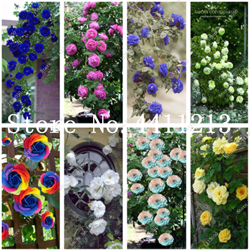 50 Pcs Hot Sale Blue Climbing Rose Dark Red Pink Flower Plants Easy Grow Flowers Plants Bonsai Perennial Garden Rosa DIY Plant