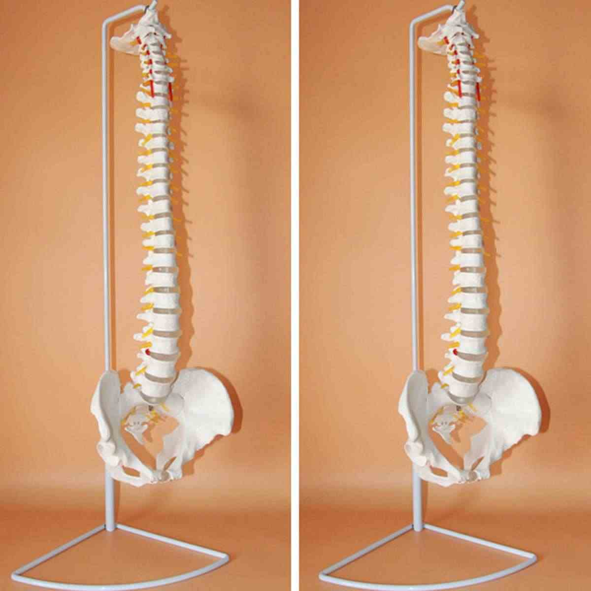 73cm Life Size Flexible Chiropractic Human Spine Anatomical Anatomy Model With Stand School Medical Science Educational Model