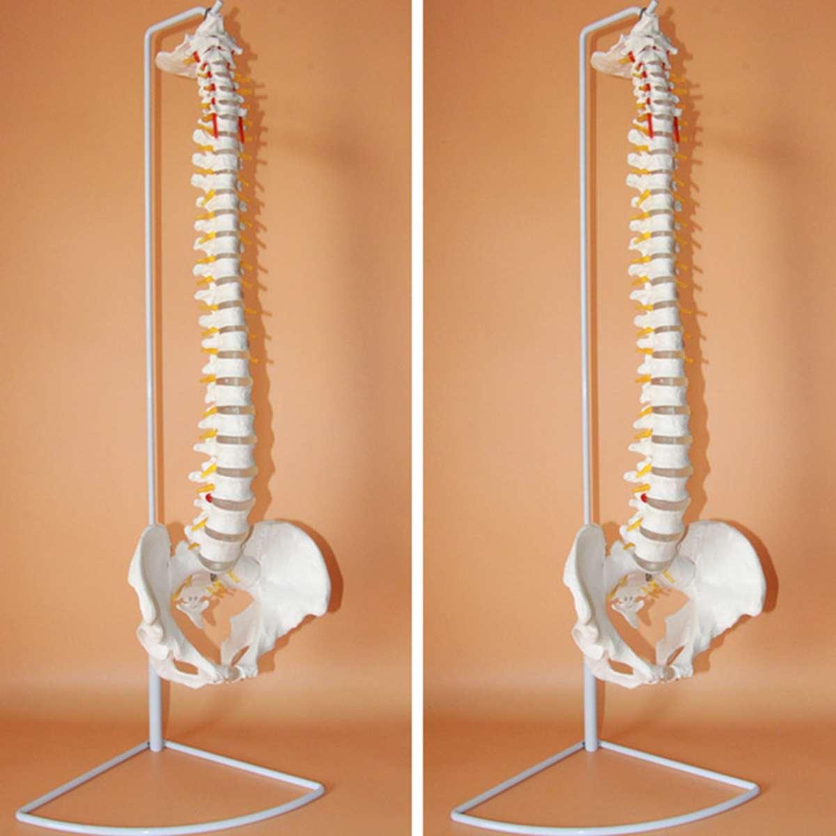Modelo de anatomía anatómica de la columna humana quiropráctica Flexible del tamaño de la vida de 73 cm con el soporte de la Escuela de la ciencia médica modelo educativo