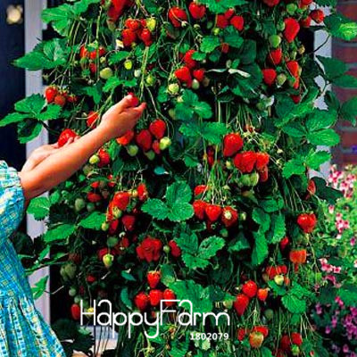 Promotion!100 PCS Tree Climbing Strawberry bonsai Courtyard Garden With Fruit and Vegetable plant Potted ,#HWZRHO(China)