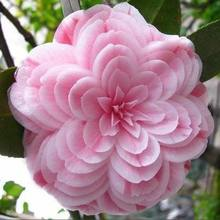 50 pieces/bag,Camellia plants, Camellia flowers bonsai 24kinds color for chose Free Shipping(China)