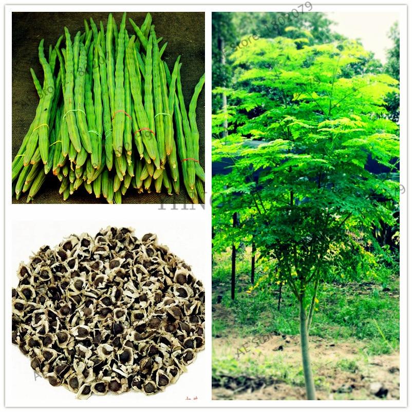 10pcs/bag Moringa Flores Moringa Oleifera Tree Plantas, Edible Plante Drumstick Tree Bonsai  Plant For Home Garden