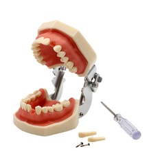 Dental Detachable Teeth Model with Screwdriver Dental Soft Gum Standard Tooth Model with 28 Removable Teeth Oral Dentist Tools dental removable dental model dental tooth arrangement practice model with screw teaching simulation model oral materials