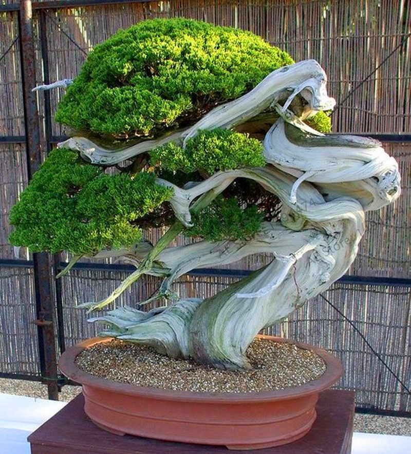Big Sale!20pcs juniper bonsai tree potted flowers office bonsai purify the air absorb harmful gases juniper garden