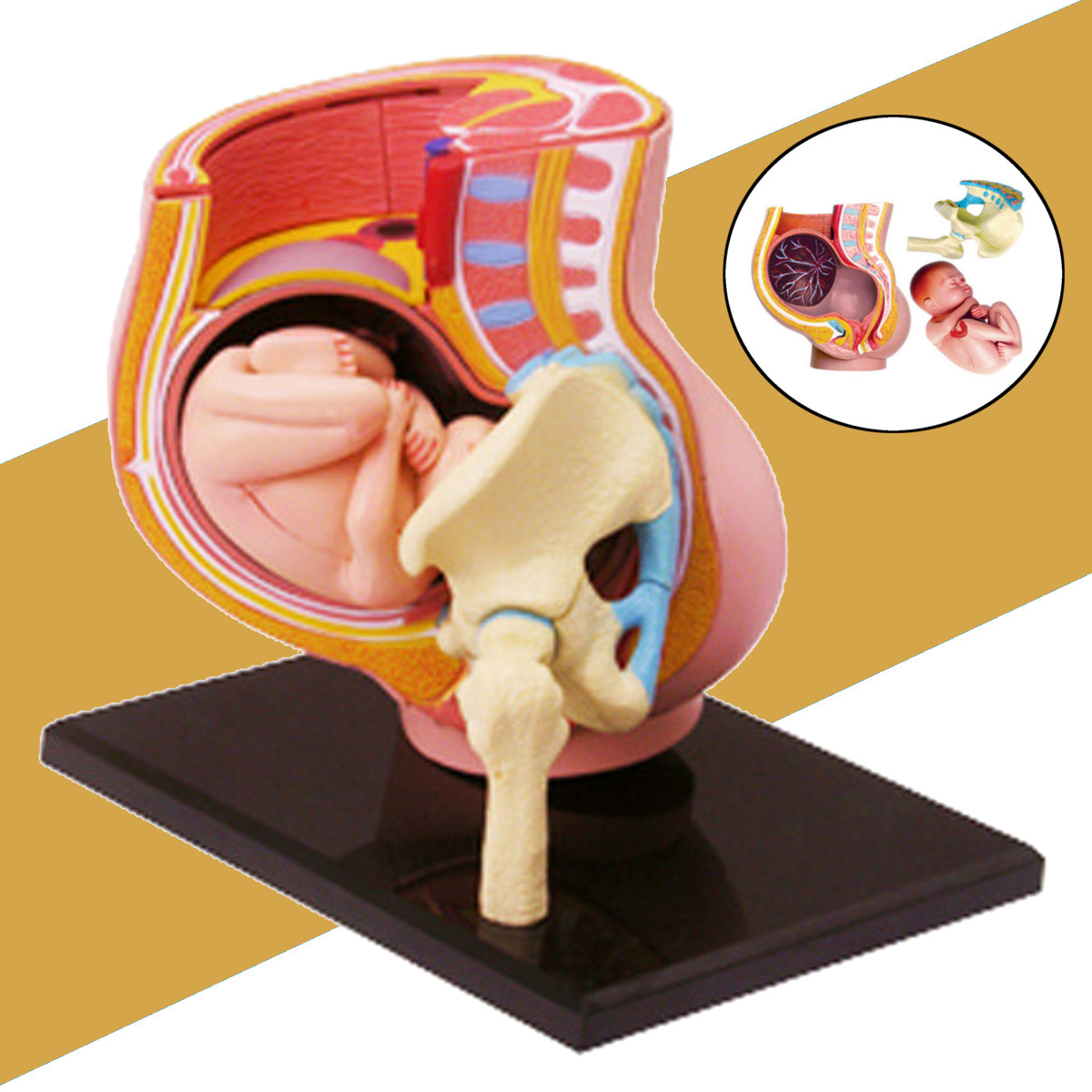 Human Women Pregnant Pelvis Teaching Resources Anatomical Section Model Sets With Baby Fetus Assembled Science Toy School Lab
