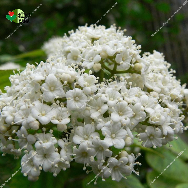 30pcs/bag white Sorbaria sorbifolia  flower for plant home garden