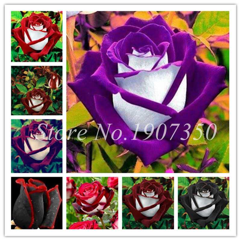 Так Красивые розы 100 шт./пакет Германия редкий Дракон Роза бонсай цветущие растения для Diy домашний сад и балкон смешивать цвета