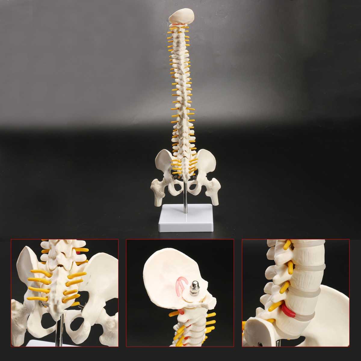 45 CM Colonne Vertébrale Humaine avec Pelvienne Modèle Anatomique Humain Anatomie Colonne Vertébrale Modèle Médical colonne vertébrale modèle + Stand Fexible