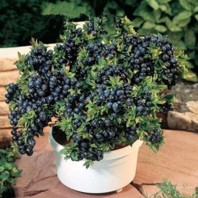 Vegetables and fruit bonsais BlueBerry Black pearl Blueberries DIY Countyard  plants bonsais for home  garden 100 pcs