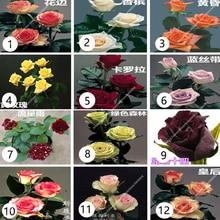 30 pcs/bag rose flower for plant bonsai red Varieties potted DIY home garden light up your